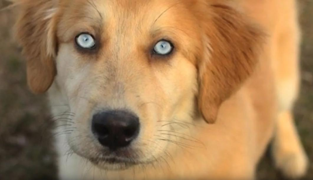 The Golden Retriever Husky Mix The Goberian Official Golden