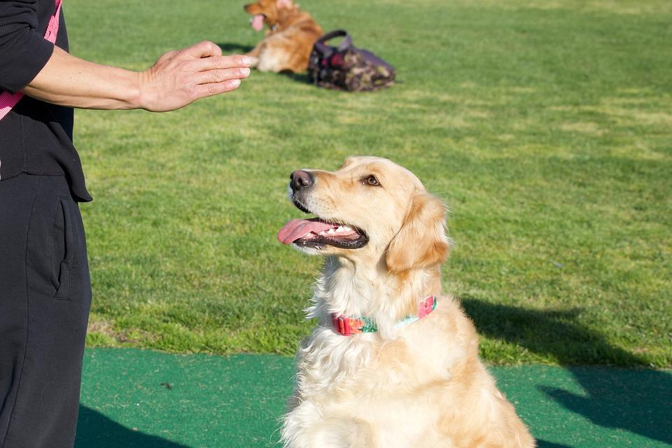 Golden Retriever Basic Training | Official Golden Retriever