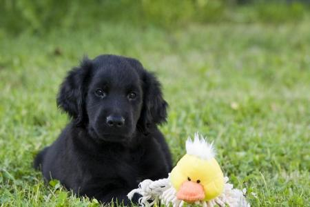 The Black Golden Retrievers | Official Golden Retriever