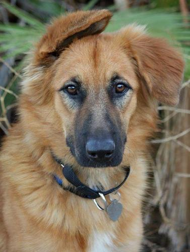 A Quick Introduction To The German Shepherd Golden Retriever Mix