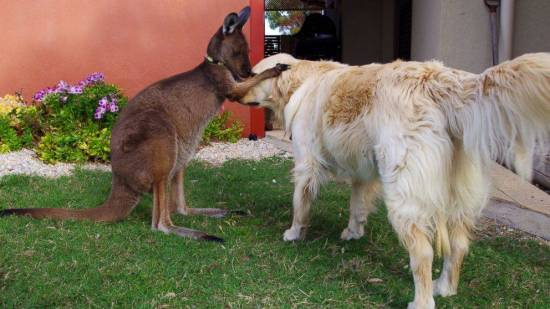 golden retriever and kangaroo