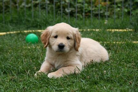 golden retriever litter