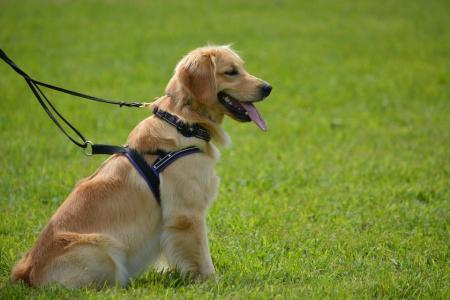 golden retriever service dog
