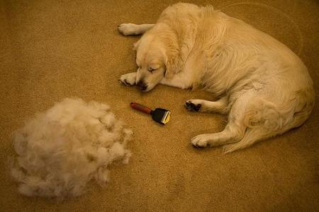 golden retriever shedding