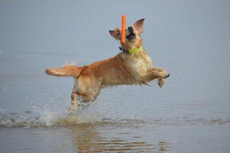 golden retriever retrieving
