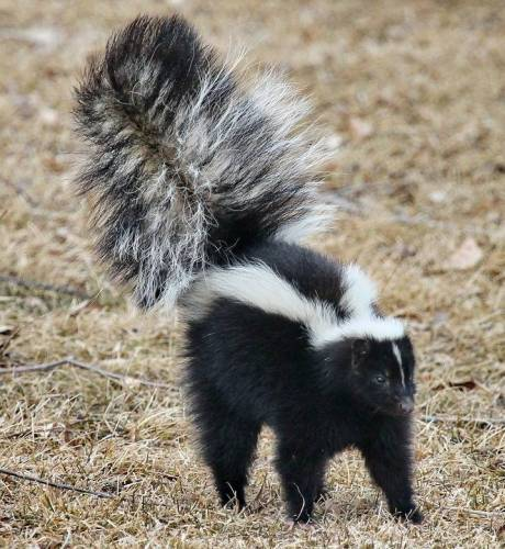 skunk smell on dogs