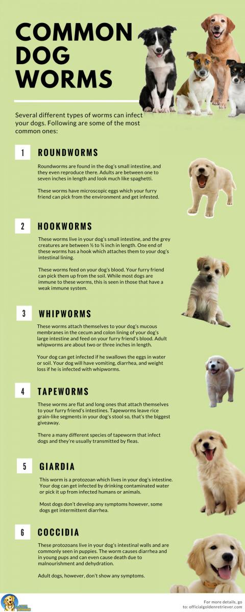 All You Need To Know About Dog Worms And Deworming Official Golden
