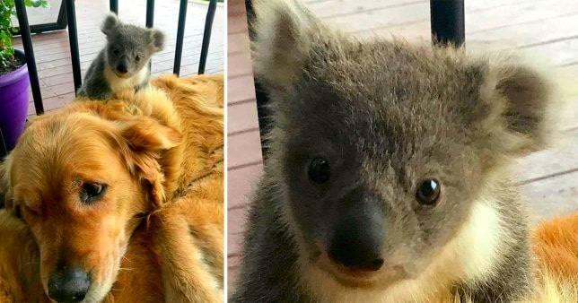 Golden Retriever Saves a Koala's Life