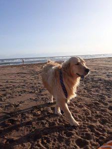 Golden Retriever Saves his Blind Owner