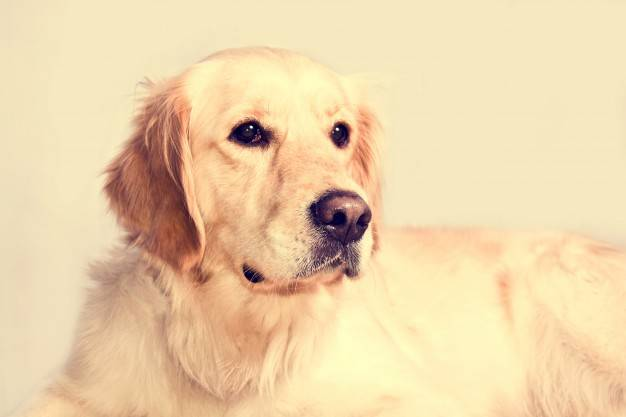 Foods To Feed Your Golden As Preventative Medicine
