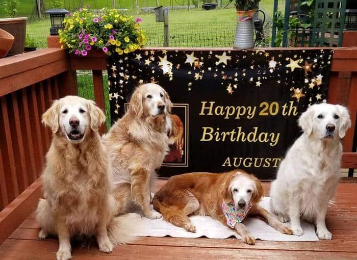 Augie, the 20 Year Old Golden Retriever, the oldest dog