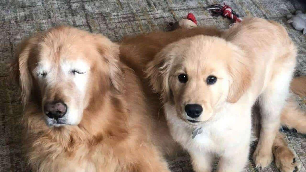 "Blind Golden Retriever gets Adorable ""Seeing Eye"" Puppy"