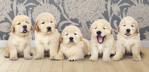 Are There Really Different Types of Golden Retrievers?