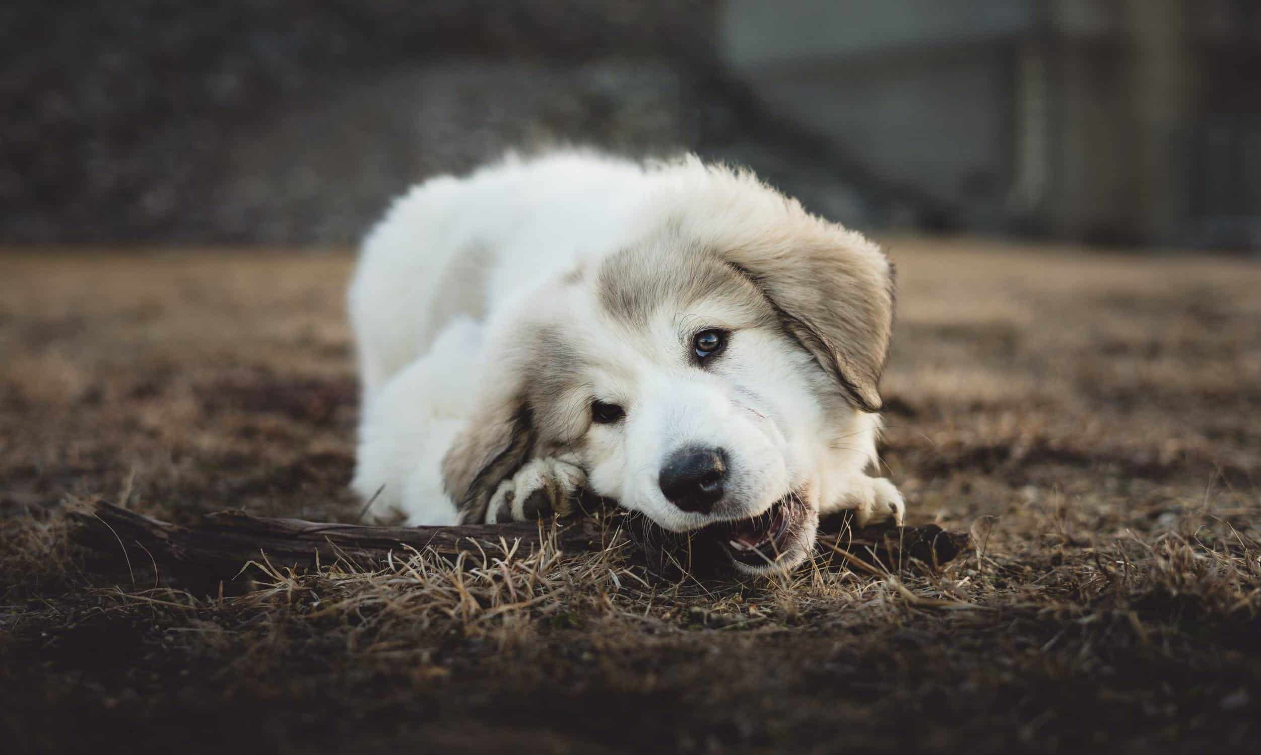 The Importance of Chewing for Dogs