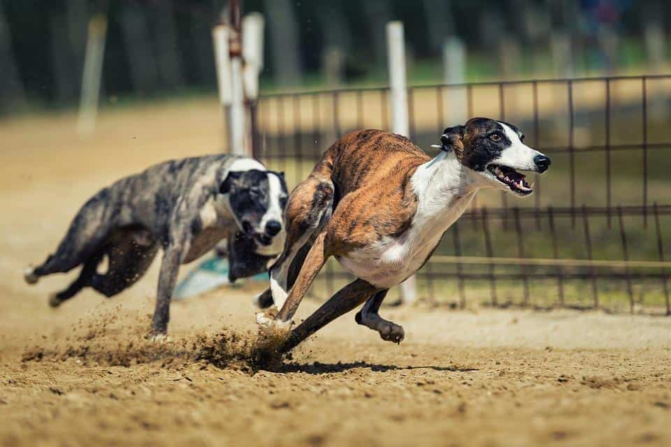 Top 10 Athletic Dog Breeds