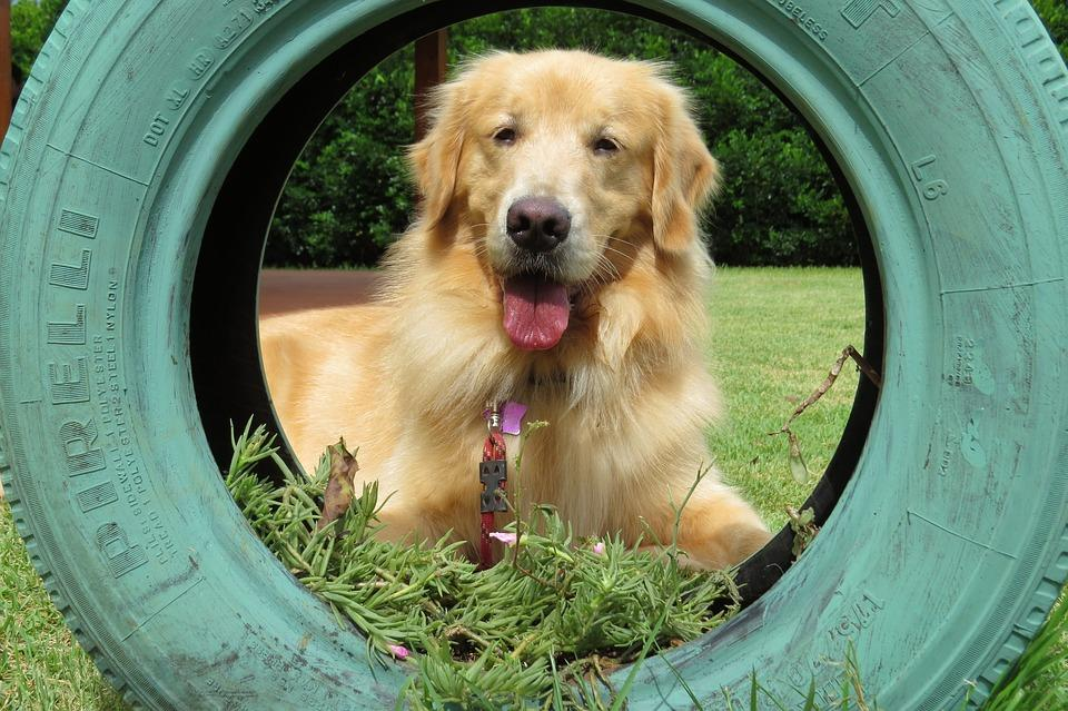 Can I Feed Sugar to my Golden Retriever?