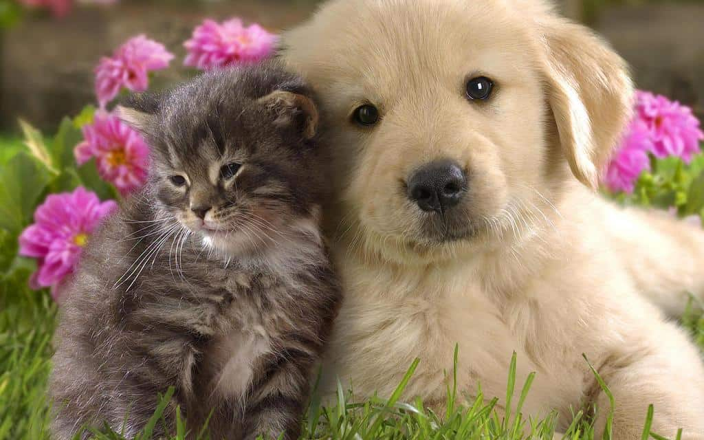 Why Does My Golden Retriever dog Chase Cats?