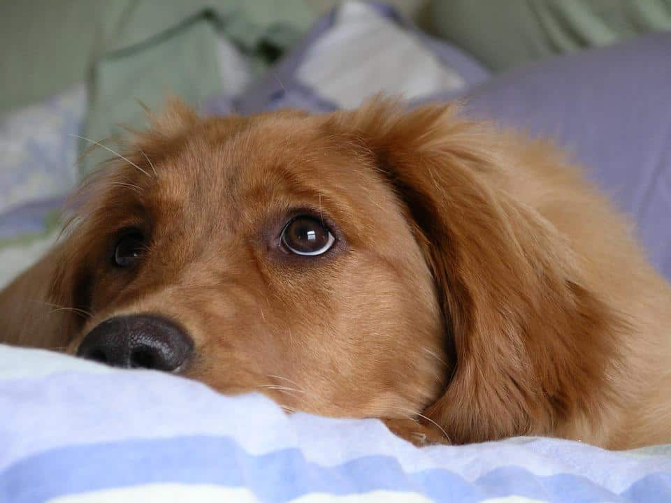 Is My Golden Retriever Dog Crying?