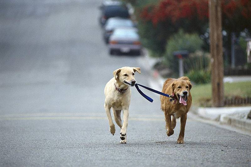 How To Train Your Dog To Walk On Leash, collar, harness
