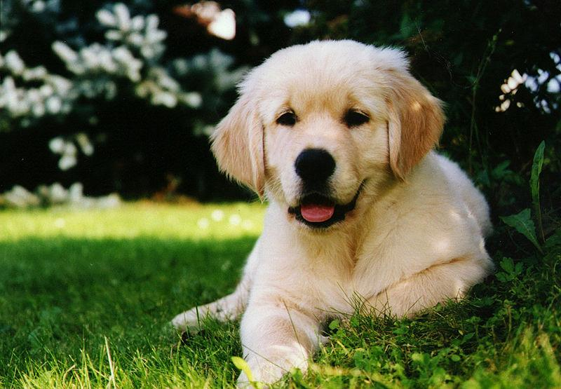 Healthy Homemade High Protein Dog Food for Golden retrievers