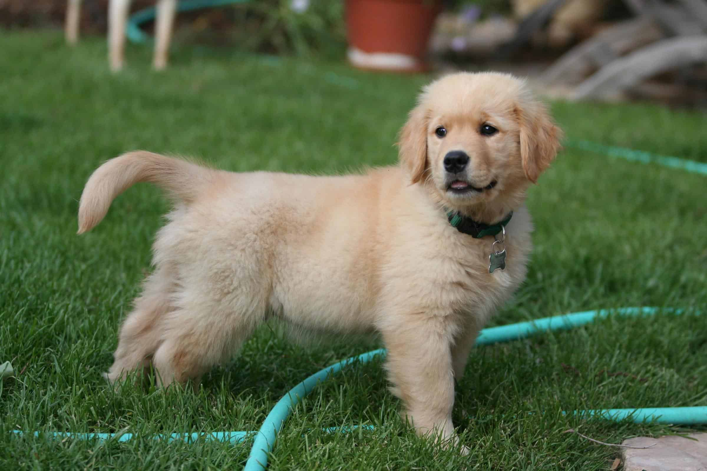 Can Golden Retrievers Have Brown Rice or White Rice?