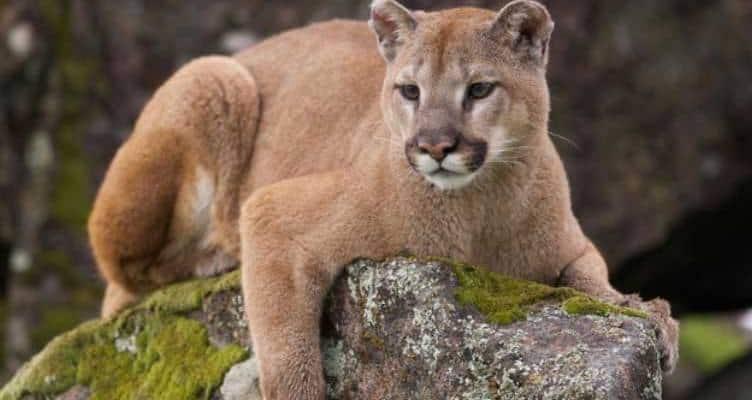 Golden Retriever Saves His Boy From A Cougar
