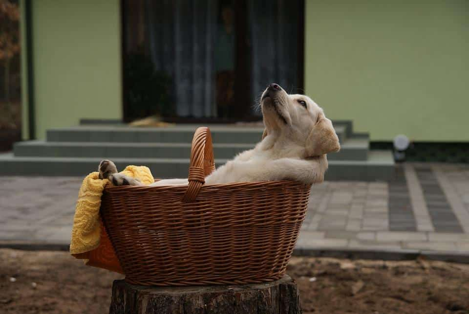 Differences Between Golden Retrievers and Labrador Retrievers