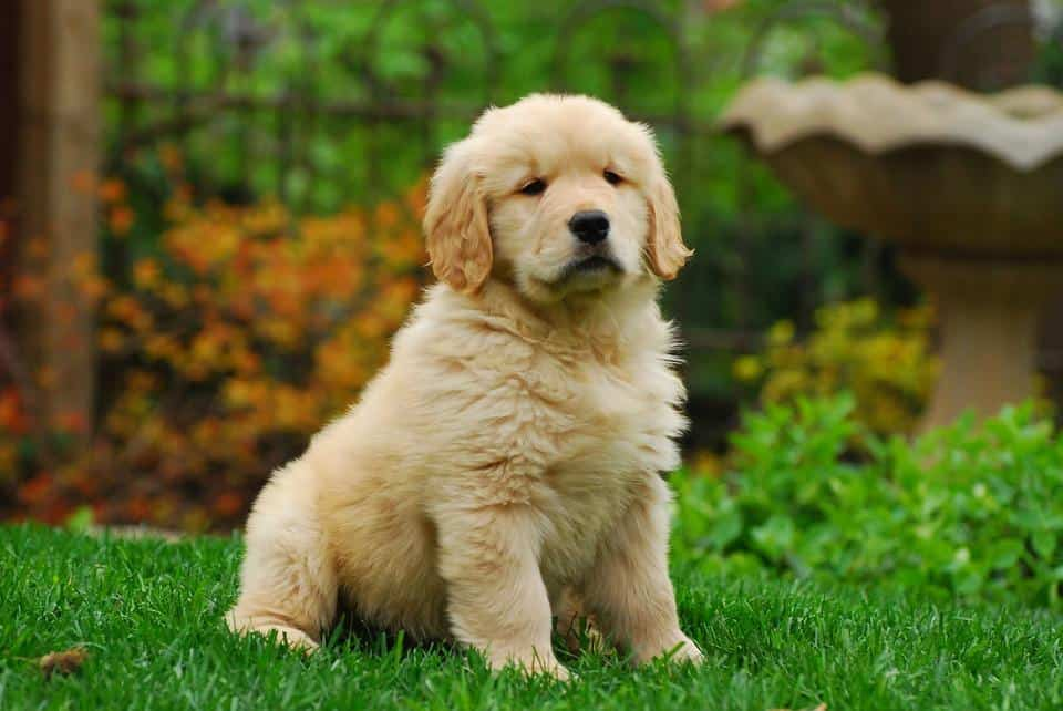 All You Need to Know About Golden Retriever Puppies