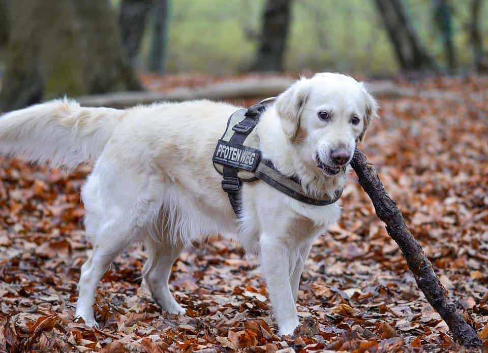 Are Rawhide Treats or Toys Safe for Golden Retrievers?