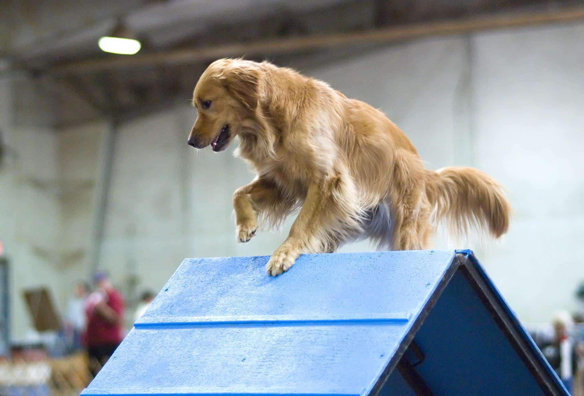 Golden Retrievers and Dog Agility Training