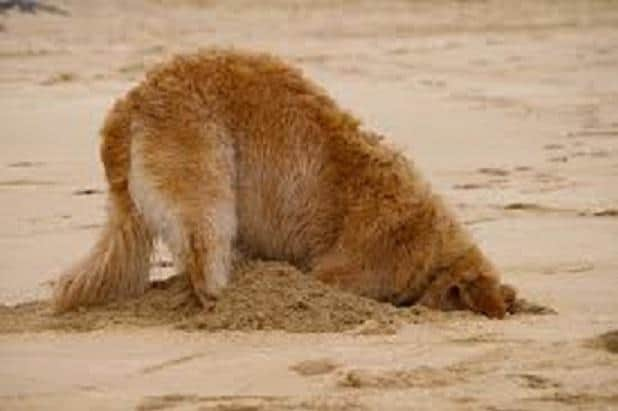 How to Stop Your Golden Retriever dog From Digging?