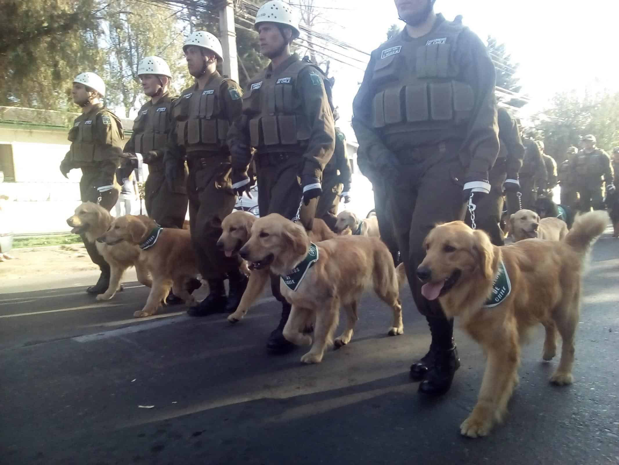 Golden Retriever Search and Rescue Dogs
