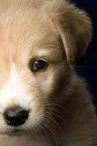 tear staining in dogs