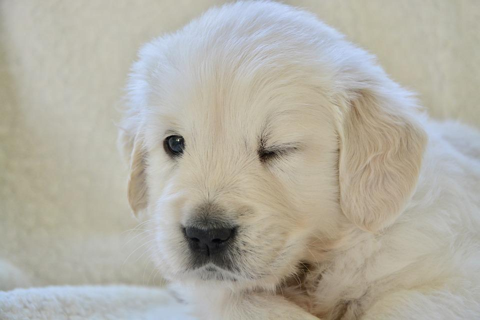 Dog Treats for Golden Retrievers