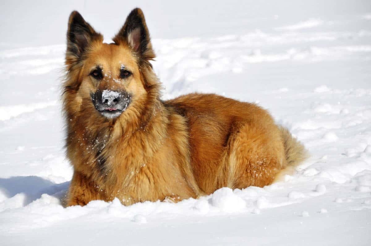 The Golden Shepherd - golden retriever and german shepherd mixed breed