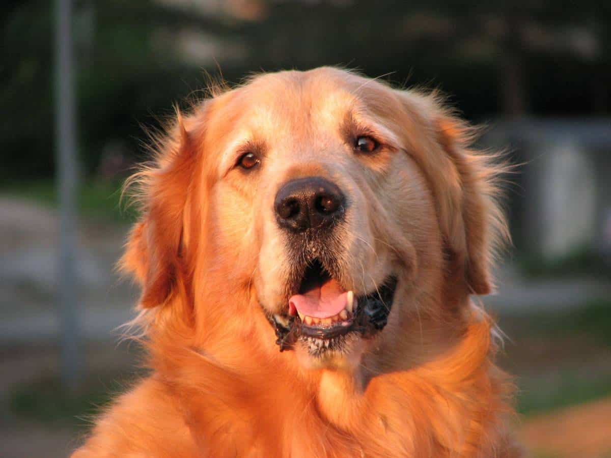 Pet Allergy - Are There Hypoallergenic Dog Breeds?