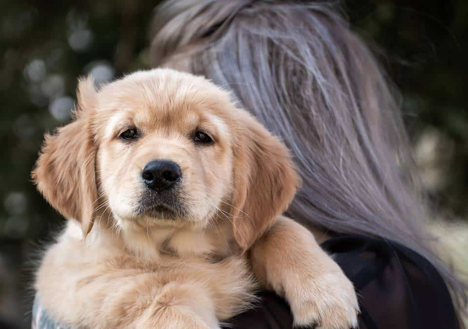 Golden Retriever Behavior And Temperament